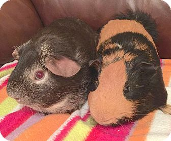 Guinea Pig for adoption in Blackstock, Ontario - Daisy (SF) & Zeus (M)