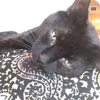 Domestic Shorthair Cat for adoption in Toronto, Ontario - Batman