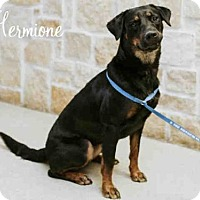 Adopt A Pet :: *HERMIONE - Sugar Land, TX