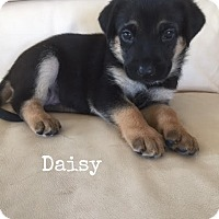 Adopt A Pet :: Sara pup Daisy -16 (adoption pending) - Lithia, FL