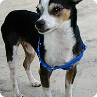Adopt A Pet :: 7.5LBS of pure Love!! - Ft Myers Beach, FL