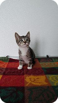 Domestic Shorthair Kitten for adoption in China, Michigan - Twiggy