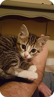 Domestic Shorthair Kitten for adoption in Youngsville, North Carolina - Tink
