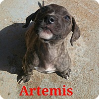 Pit Bull Terrier Mix Puppy for adoption in Wichita Falls, Texas - Artemis