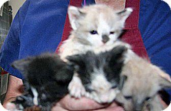 Domestic Shorthair Kitten for adoption in Wildomar, California - 317312