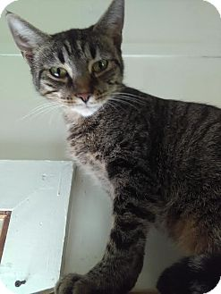 Domestic Shorthair Cat for adoption in Owenboro, Kentucky - LILLY!
