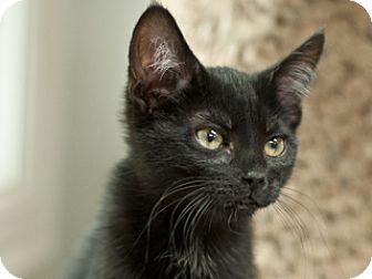 Domestic Shorthair Kitten for adoption in Great Falls, Montana - Raven