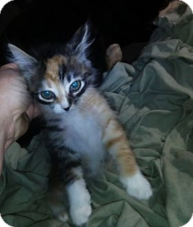 Calico Kitten for adoption in Pensacola, Florida - Darling