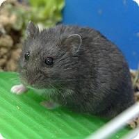 Adopt A Pet :: SWIZZLE - Boston, MA