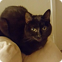 Adopt A Pet :: Chewie - Troy, MI