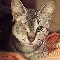 Adopt A Pet :: Grizabella - Lansdowne, PA