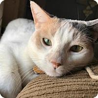 Adopt A Pet :: Carol - Ya litter (Mom) - Livonia, MI