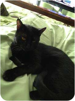 Domestic Shorthair Cat for adoption in Mobile, Alabama - Johnny