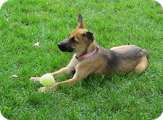 Cassy | Adopted Puppy | Cantrall, IL | German Shepherd Dog ...
