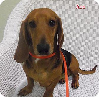 Dixi | Adopted Dog | Thousand Palms, CA | Dachshund/Basset ... |Dachshund Basset Hound