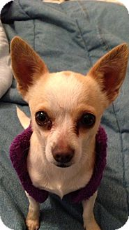 Chihuahua Mix Dog for adoption in Lebanon, Maine - Chloe