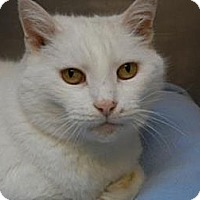 Domestic Shorthair Cat for adoption in Miami, Florida - Duchess