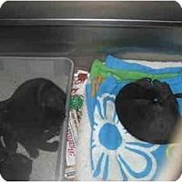 Adopt A Pet :: George - Lombard, IL