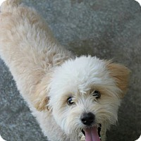 Adopt A Pet :: Kirby - mini goldendoodle - Phoenix, AZ