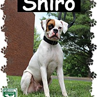 Boxer Mix Dog for adoption in Fallston, Maryland - Shiro
