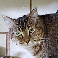 Domestic Shorthair Cat for adoption in Lago Vista, Texas - Sheyla