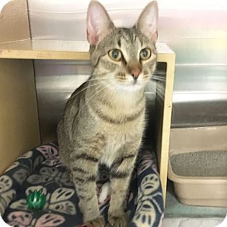 Domestic Shorthair Cat for adoption in Arlington/Ft Worth, Texas - Miss Kitty