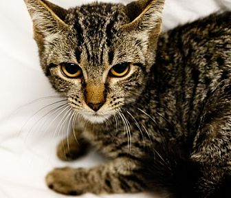 Domestic Shorthair Cat for adoption in Oakland Park, Florida - Jolie
