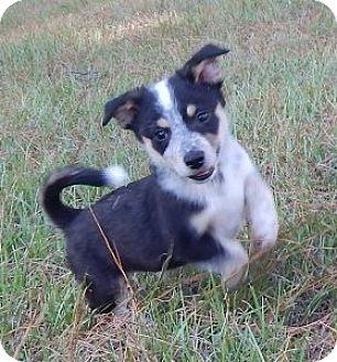 Australian Shepherd Mix Puppy for adoption in West Chester, Pennsylvania - Rocket