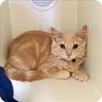Domestic Mediumhair Kitten for adoption in Riverside, California - Ginny