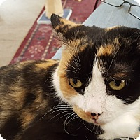 Calico Cat for adoption in Irwin, Pennsylvania - Keana