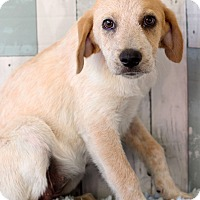 Labrador Retriever Mix Puppy for adoption in Waldorf, Maryland - Fifi