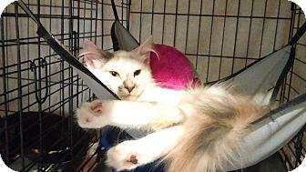 Domestic Longhair Cat for adoption in Whitestone, New York - penelope