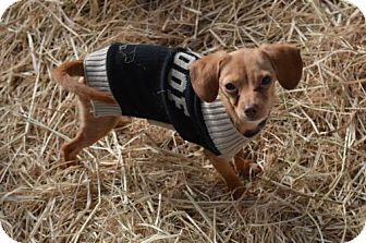 Beagle/Italian Greyhound Mix Puppy for adoption in Vacaville, California - Snoopy