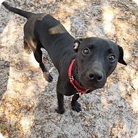 Adopt A Pet :: Athena - Umatilla, FL