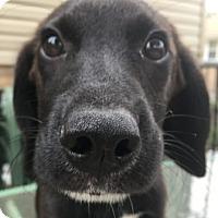 Adopt A Pet :: Sansa - Warrenville, IL