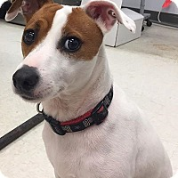 Jack Russell Terrier Mix Dog for adoption in Columbia, Tennessee - Bonnie/MS
