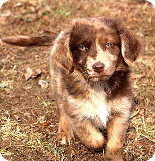 Australian Shepherd/Golden Retriever Mix Puppy for adoption in Glastonbury, Connecticut - Gypsy~adopted!!