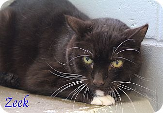 Domestic Shorthair Cat for adoption in Bradenton, Florida - Zeek