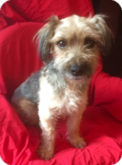 Yorkie, Yorkshire Terrier Mix Dog for adoption in Corona, California - LUCY