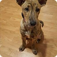Adopt A Pet :: Celeste - Hainesville, IL