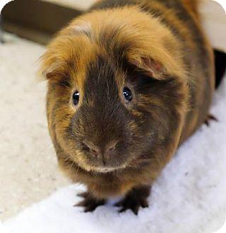 Guinea Pig for adoption in Ann Arbor, Michigan - Jesse Bee pp/ Artamis