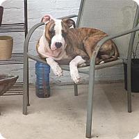 Adopt A Pet :: Bandin - Baton Rouge, LA