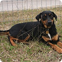 Miniature Pinscher Mix Dog for adoption in New Braunfels, Texas - Boo