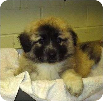 Leanne | Adopted Puppy | Blue Spring, MS | Leonberger/Great Pyrenees ...