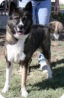 Husky/Akita Mix Dog for adoption in Gilbert, Arizona - Pepsi