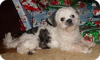 Shih Tzu Dog for adoption in Mooy, Alabama - Opie