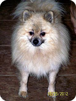 Pomeranian Dog for adoption in Sherman, Connecticut - Ozzy Betty's Dog