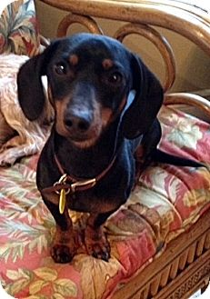 Dachshund Mix Dog for adoption in Toronto, Ontario - Patriot