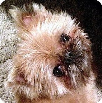 Brussels Griffon Dog Rescue California