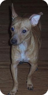 Chihuahua Dog for adoption in Calumet City, Illinois - URGENT FOSTER NEEDED Mack